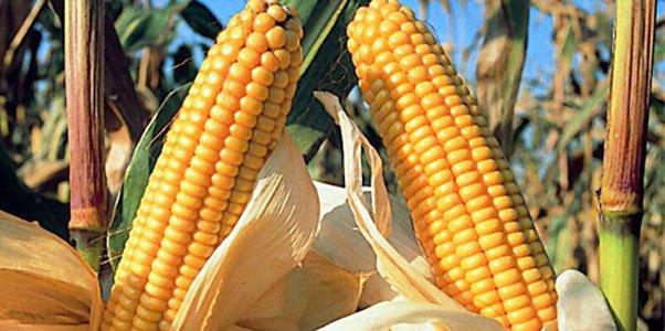 Prohibir uso de maíz transgénico para preservar la biodiversidad genética del grano en México
