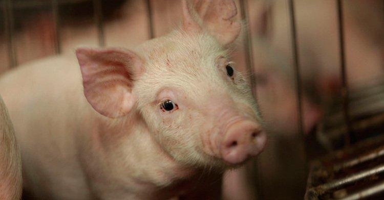 Buenas Practicas Porcícolas, menos riesgos de salud humana y animal