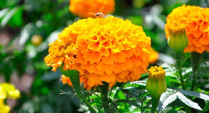 Flor de cempasúchil, belleza espiritual