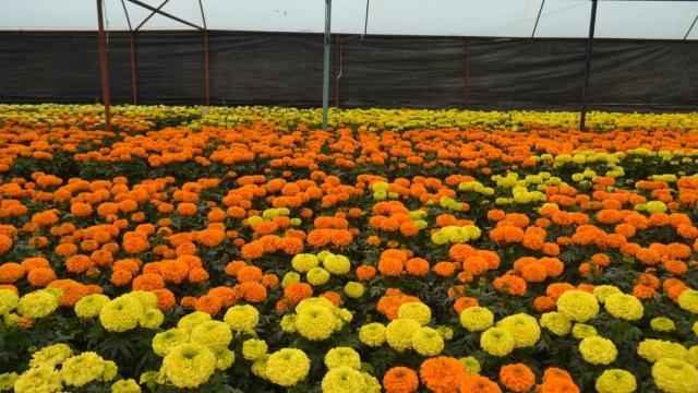 La CDMX ocupa el primer lugar a nivel nacional en producción de cempasúchil