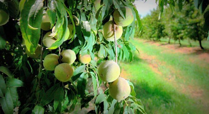 Árboles frutales, delicias al alcance de la mano