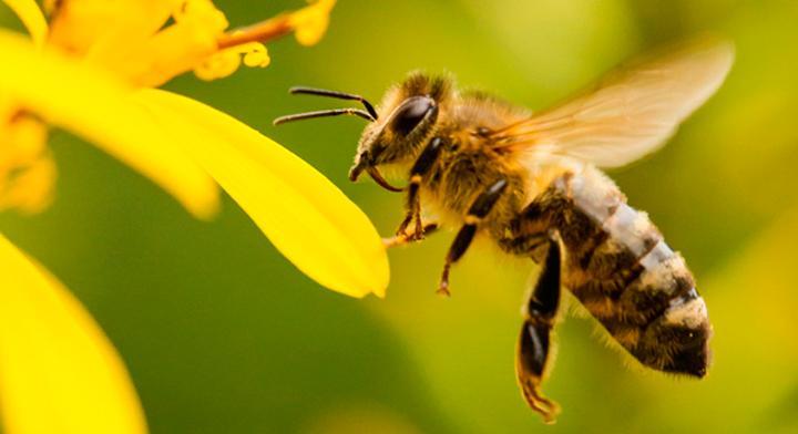 A¿Inseminación de abejas?