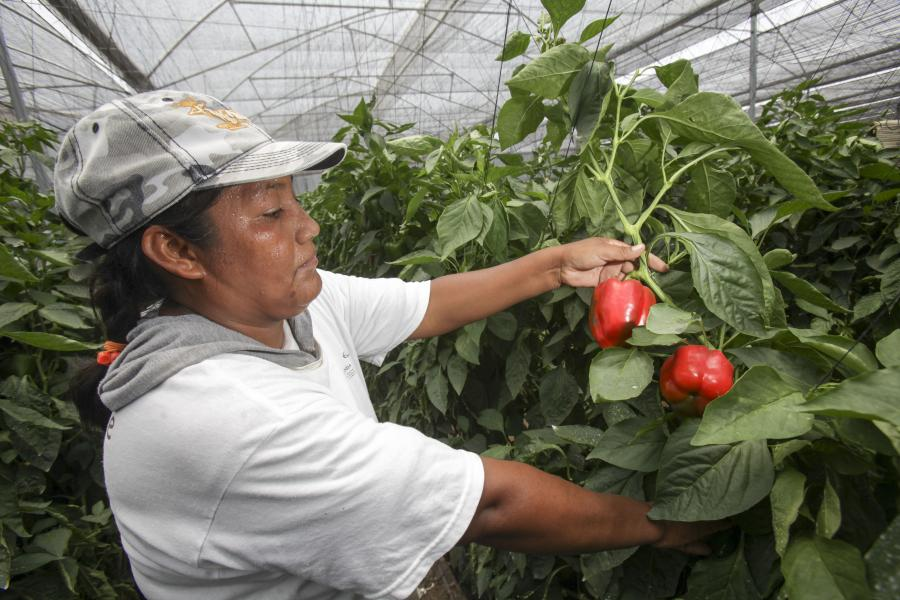 Producción nacional de chile alcanza 2.3 millones de toneladas