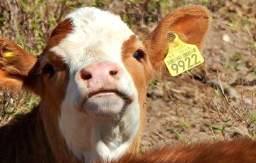 Aretes amarillos, identificación y movilización animal sin riesgo
