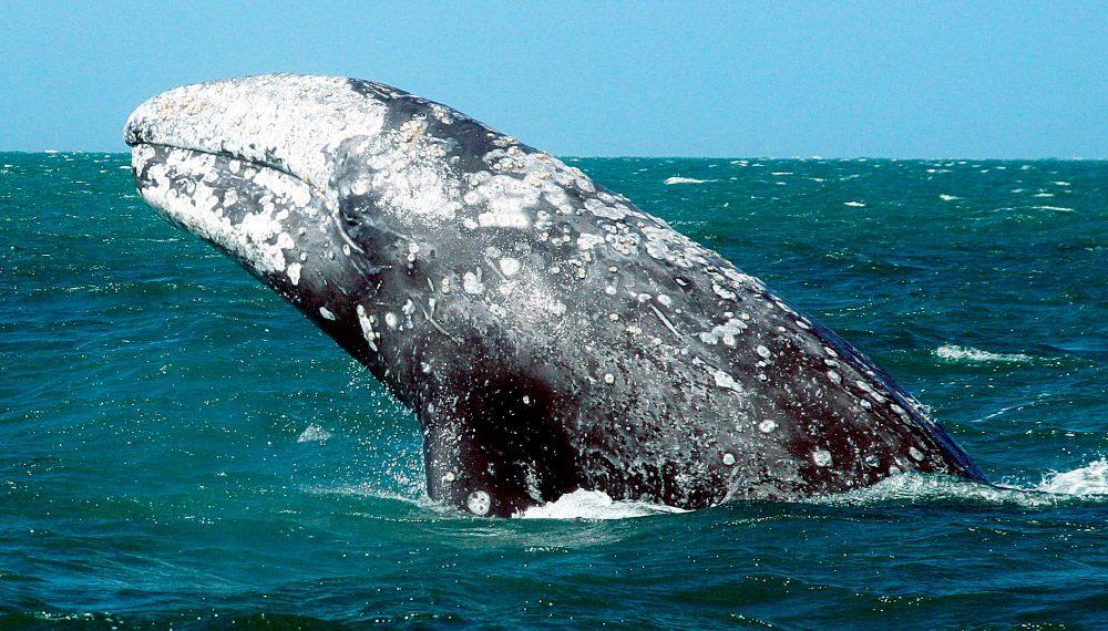 Las aguas mexicanas reciben a la ballena gris