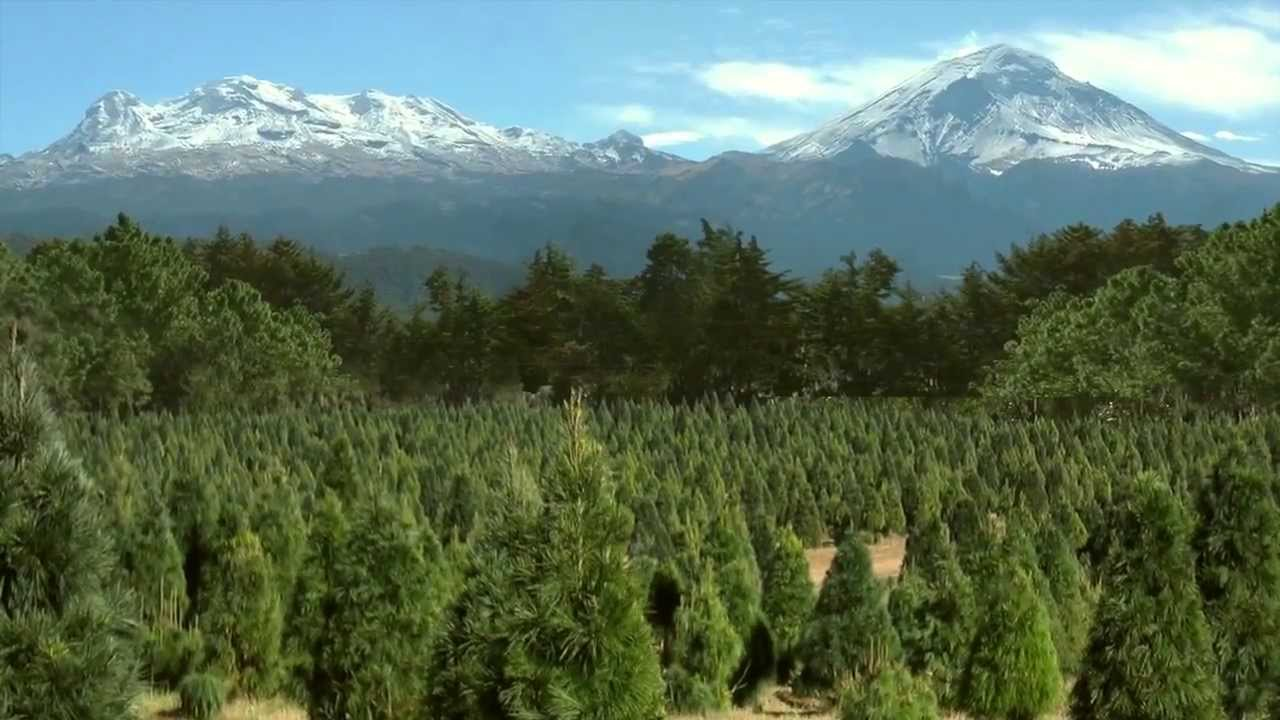 Árboles naturales mexicanos, opción ideal para cuidar el ambiente y la economía