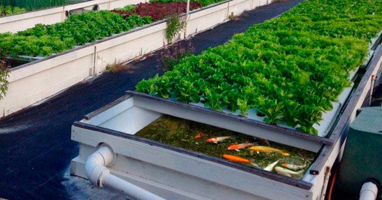 Acuaponía, una alternativa sustentable para la producir plantas y peces