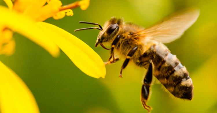 Las abejas y su aportación a la agricultura