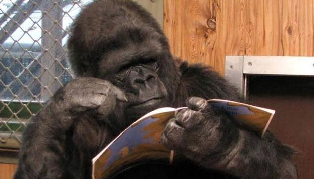 Muere la gorila que sabía el lenguaje de señas