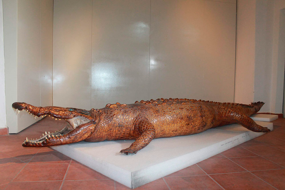 La ENCRyM restaurará cocodrilo disecado del Museo Regional de Nayarit