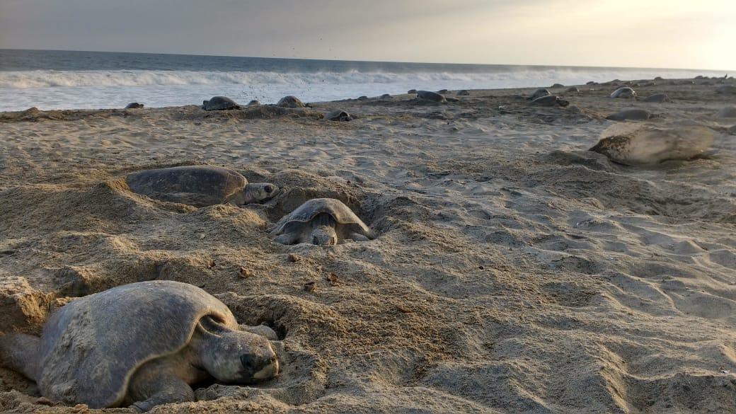 Clausura Profepa obra en Tulum por nidos de tortuga marina
