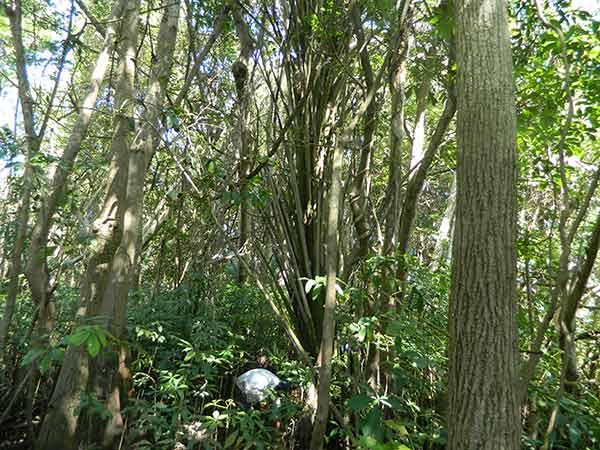 Detectan dispersión de palma de aceite africana en la Reserva de la Biósfera en Chiapas