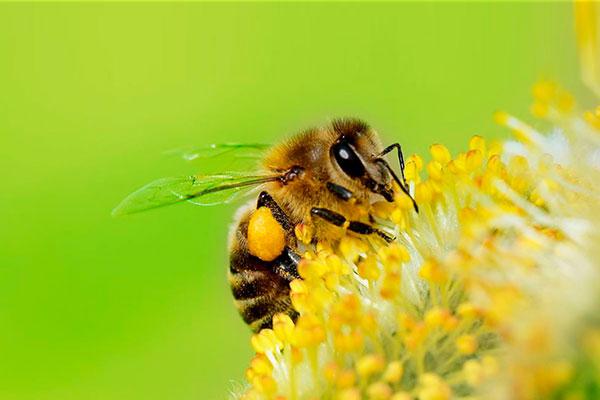 En grave riesgo las poblaciones de abejas y su polinización, vital en la generación de alimentos