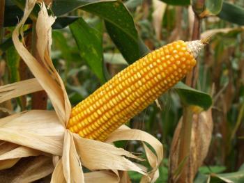 Tlalpan libre de maíz transgénico: UNAM