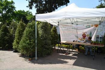 Inicia la Alcaldía de Azcapotzalco trueque de árboles de navidad