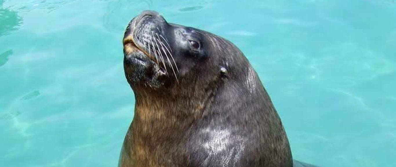 Por complicaciones, fallece el lobo marino del Zoológico de San Juan de Aragón