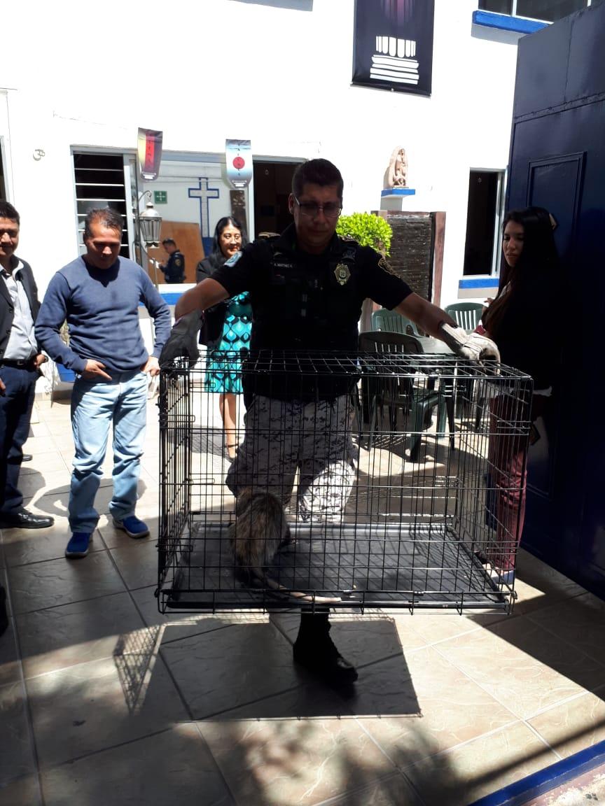 Brigada de vigilancia animal de la SSC rescata a un Tlacuache que entró a una escuela