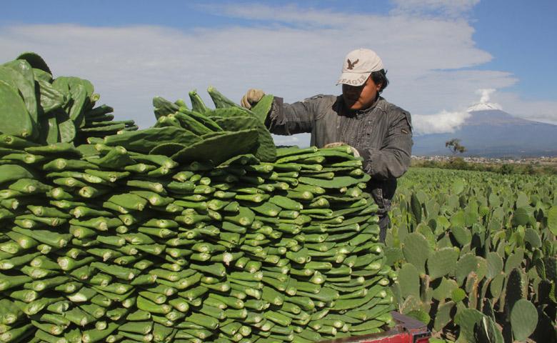En Tlaxcala, impulsan producción de nopal