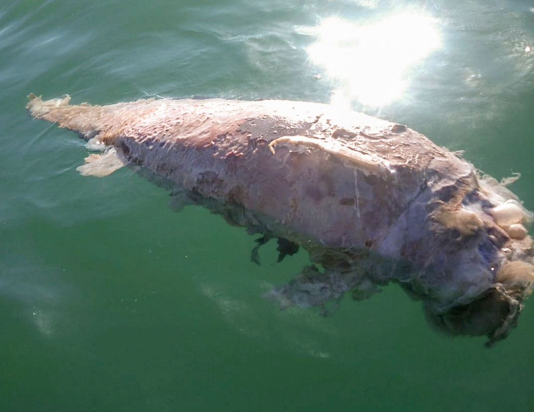 Hallan restos de vaquita marina en el Golfo de California