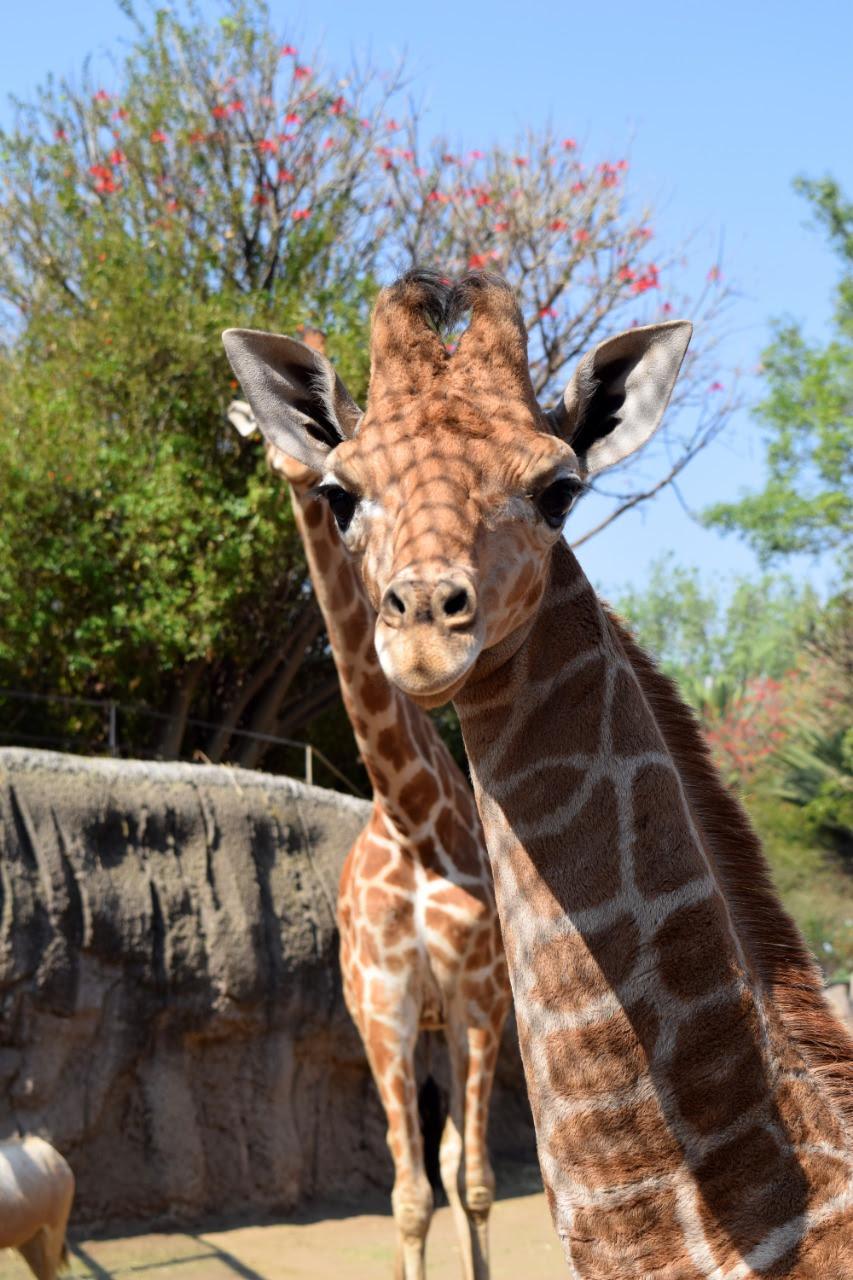 Nace Jirafita en el Zoológico de Chapultepec