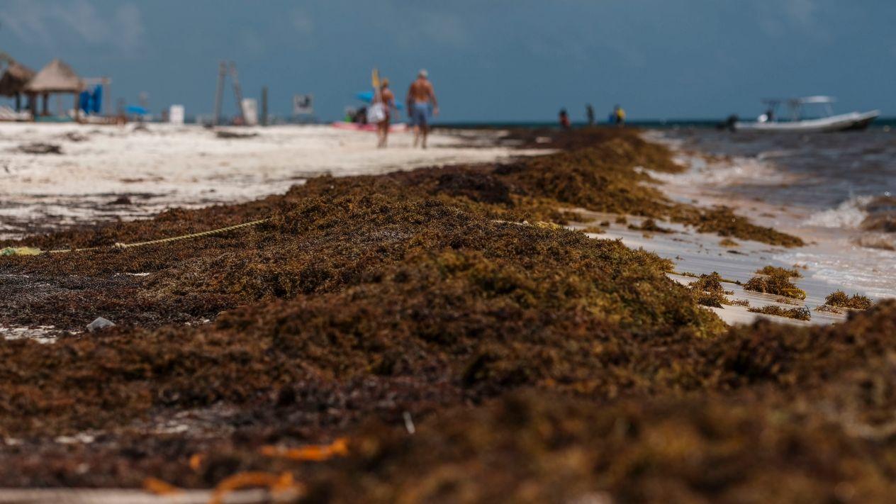 Riesgo en el Mar Caribe por el sargazo
