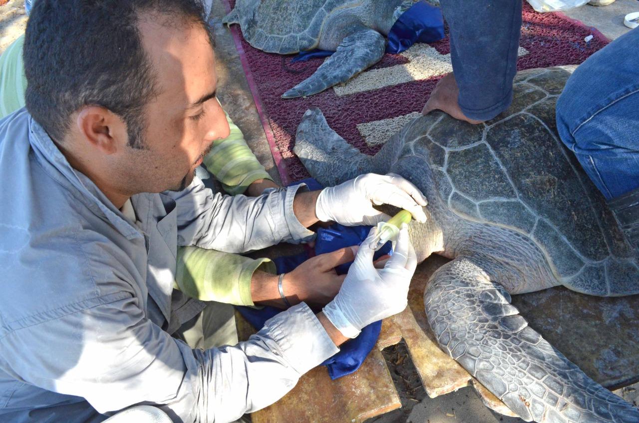 Estudia IPN Herpevirus y Tumoraciones en Tortugas Marinas