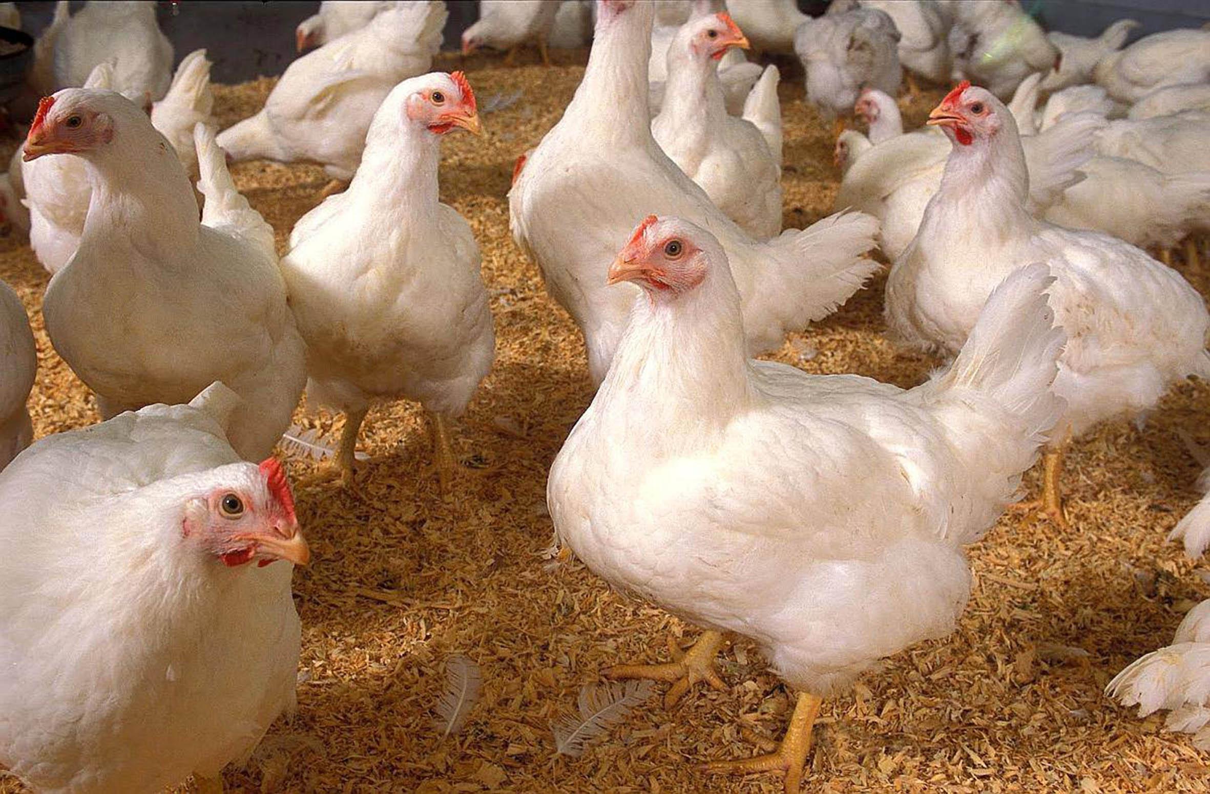 Un mito el uso de hormonas para el crecimiento de pollos para consumo humano