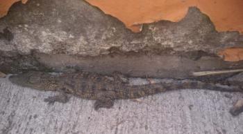 SSC rescató Cocodrilo que deambulaba en vía pública en la Colonia Jardín Balbuena