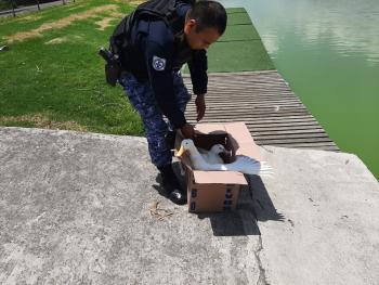 Brigadistas de Vigilancia Animal de la SSC rescataron a dos Patos, una Serpiente y una Tarántula