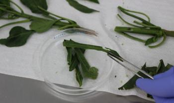 Fortalece Agricultura vigilancia fitosanitaria para virus rugoso del tomate