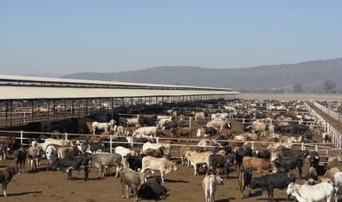 Crece 17.6 por ciento exportación de ganado bovino de México a Estados Unidos