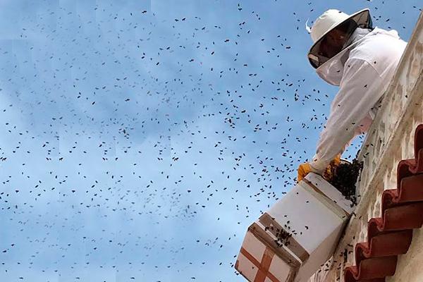 Contribuye la UNAM a la conservación de enjambres en la Ciudad de México