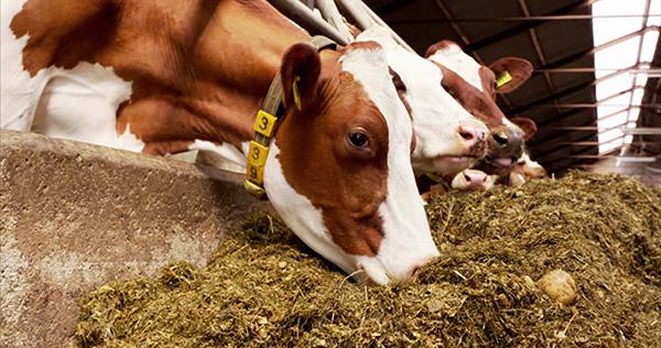 Suplementos de aceite de oliva para el ganado mejora el sabor y calidad de los lácteos