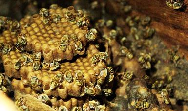Se llevarán a cabo las últimas jornadas sobre la conservación de la abeja maya en Yucatán