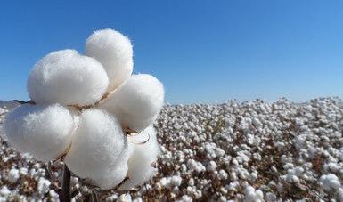 Invertirán en 2020 México y Estados Unidos más de 61 millones de pesos para erradicar picudo del algodonero en la zona fronteriza