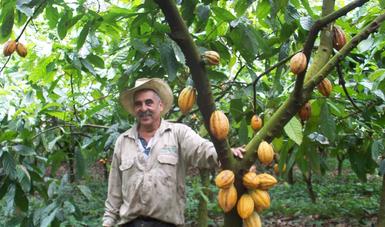"""Desarrolla Agricultura """"Regalo de Dios"""", una variedad de cacao tolerante a enfermedades y mayor rendimiento"""
