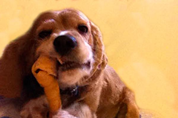Esterilización temprana de perros, la mejor prevención de enfermedades
