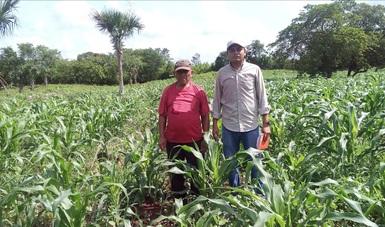 Maíces nativos, clave para erradicar el hambre y mejorar la nutrición en el país: Agricultura-CIMMYT