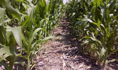 Agricultura de Conservación genera mayor rentabilidad y ganancias en el cultivo de granos: MasAgro