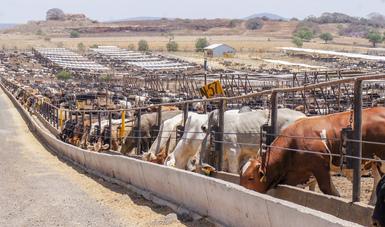Previene Agricultura uso de clenbuterol para la engorda de ganado bovino