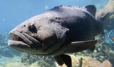 Inicia la veda de todas las especies de mero en el Golfo de México