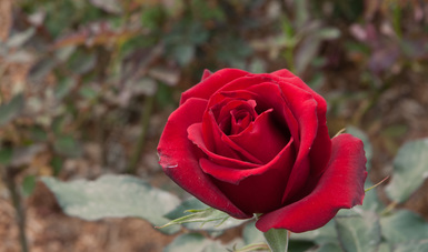 Se alistan productores nacionales para atender demanda de flores por 14 de febrero