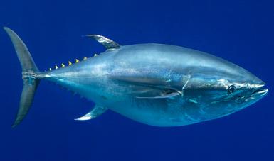 Produjo México tres mil 268 toneladas de atún aleta azul en el ciclo de captura 2020