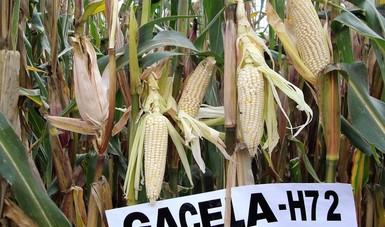 Desarrolla Inifap dos híbridos de maíz resistente a plagas y con mayor rendimiento