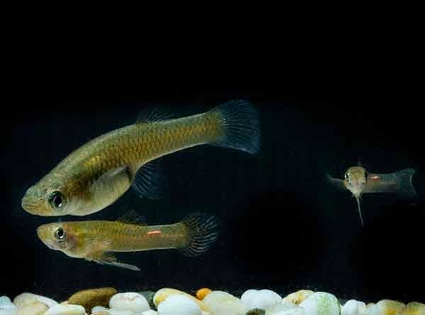 Utilizan universitarios especies acuáticas como biomarcadores de contaminación