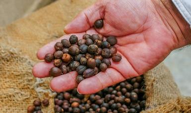 Genera Producción para el Bienestar apoyos inmediatos a productores de granos y caña de azúcar en Quintana Roo