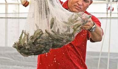 Publica Agricultura fechas y zonas de veda de camarón para el Golfo de México y Mar Caribe