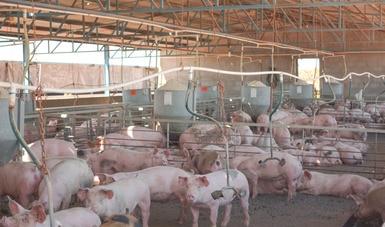 Se estima para 2020 una producción de 1.7 millones de toneladas de carne de porcino: Agricultura