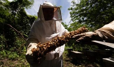 Activa Agricultura vigilancia epidemiológica para prevenir entrada de avispón gigante a México