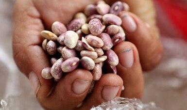 Segalmex da a conocer ubicación de los centros de préstamo de frijol para semilla a pequeños y medianos productores afectados por la sequía